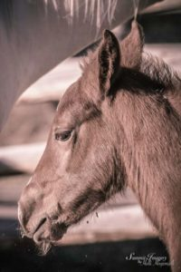 TCRSmartLittleKitKat (Kit Kat Sugar x Given) sorrel filly
