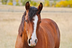 Jasper (Playgun Chex x A Doc N Pay) a bay gelding used at Trout Creek Ranch