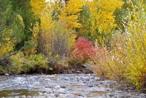 Fall foliage along Trout Creek near Yellowstone National Park