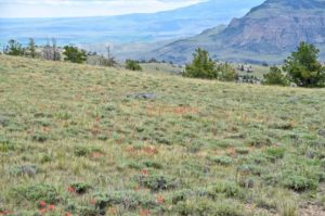 Red Indian Paintbrush on Logan Mountain at Trout Creek Ranch.