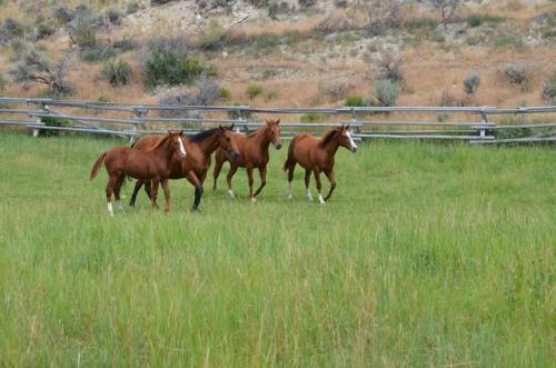 quarter horse mares and foals