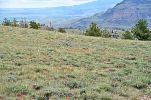 Red Indian Paintbrush on Logan Mountain